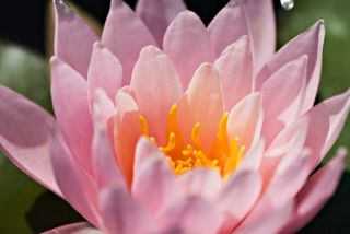 Beautiful_pink_water_lily