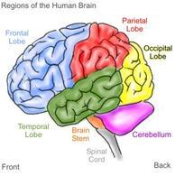 Brain_witelson_2
